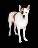 Dog Standing Over Black Background Stock Photography
