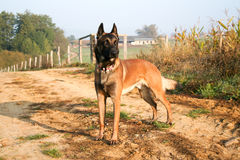 A dog standing on a path. A Belgian shepherd standing on a way Royalty Free Stock Images