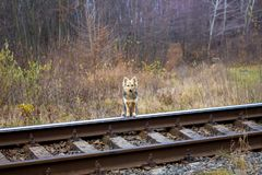 The dog is standing by the railroad and waiting for his master_ royalty free stock image