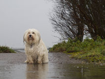 Dog standing in the rain. A dog is wet and sad in front of a puddle in the rain royalty free stock photo