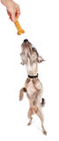 Dog Standing Reaching For Treat Royalty Free Stock Photos