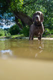 Dog standing in river water at hot summer day Stock Photography