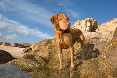 Dog standing on seaside cliff Stock Photo