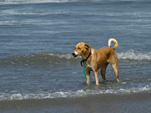 Dog Standing in Shallow Waves Royalty Free Stock Photos