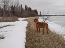 Dog standing on shore. Dogue de bordeaux standing on shoreline in spring Stock Images
