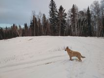Dog standing in snow. In forest Stock Photos