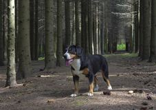 Dog standing in the spruce forest in a sunny summer day. Stock Image