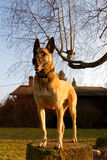 A dog standing on a stone. A pretty Belgian shepherd with tongue out Stock Images