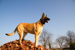 A dog standing on stones. A Malinois standing on a pile of stones Royalty Free Stock Image