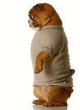 Dog standing up Royalty Free Stock Photography