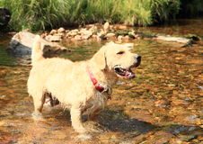 Dog standing in water Stock Images