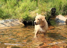 Dog standing in water Royalty Free Stock Image