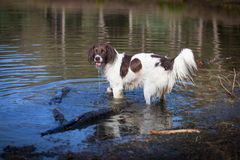 Dog standing in the water. And looking at the camera Stock Images