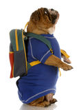 Dog standing wearing school backpack Royalty Free Stock Image