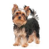 Dog standing on white Royalty Free Stock Image