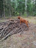 Dog standing on wood. Pile in forest Royalty Free Stock Photography