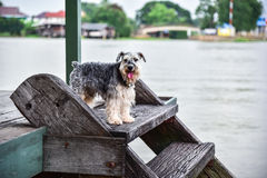 The dog standing on Wooden stairs. At Waterfront home Stock Images