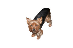 Dog standing - yorkshire terier. Isolated Dog standing - yorkshire terier Stock Images