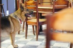 A dog in a cafe. A dog stands in a cafe room amidst wooden furniture royalty free stock photography