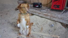 The dog stands on its hind legs and asking for food stock video