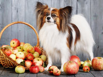 Dog stands near the basket Royalty Free Stock Photography