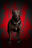 Dog stands in the red fire. Black warrior dog stands in the red fire Stock Photos