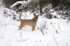 Dog stands On Snow Covered Field By Trees royalty free stock images