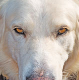 Dog stare at the camera Royalty Free Stock Images