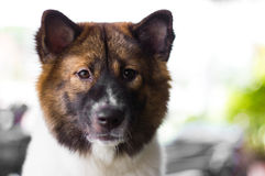 Dog stare at something Royalty Free Stock Images