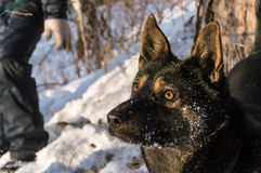 The dog stares into the distance. On the walk. Winter Stock Photo