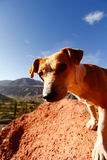 Dog staring. High mountains dog staring at the camera Royalty Free Stock Photo