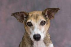 Dog staring Royalty Free Stock Photos