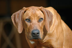 Dog staring Royalty Free Stock Photography
