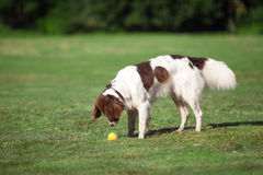 Dog staring at a ball. A dog staring at a ball in the grass on a sunny day Royalty Free Stock Photo