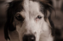 Dog Staring into Camera. Old dog staring deep into the camera Royalty Free Stock Photo