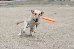 Dog staring at a disc. Dog staring at an orange disc as it`s about to fall to the ground royalty free stock photos
