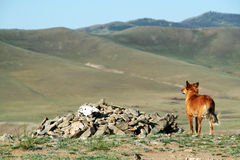 Dog staring at the valley. In mongolia near karkorin Stock Photo