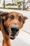 Dog starring at camera Royalty Free Stock Photography