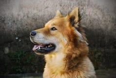 Dog starring at nothing. Eyes focused Stock Photography
