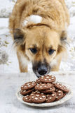 Dog stealing a cookie Stock Photo