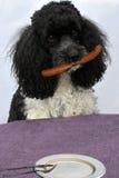 Dog steals sausage Stock Images