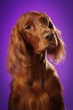 Dog ståenden på purpurfärgad bakgrund, i studio, lodlinjen Royaltyfria Bilder