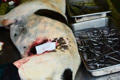 Dog sterilization Stock Photography
