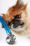 Dog and stethoscope. Stock Image