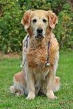 Dog with stethoscope Stock Images