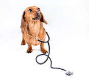 Dog with stethoscope Royalty Free Stock Images