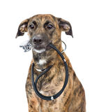 Dog with a stethoscope on his neck. isolated on white background Royalty Free Stock Photography