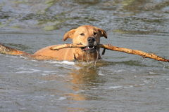 Dog With Stick Stock Photo