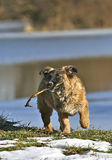 Dog with stick Royalty Free Stock Images