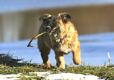 Dog with stick. Playing in the grass fetching royalty free stock image